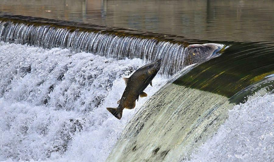 Salmon Swims Upstream